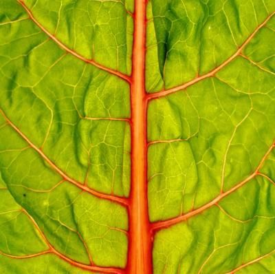 Swiss chard is at home in the vegetable garden and the ornamental garden.