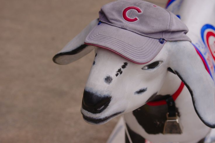 What's The Deal With The Cubs Goat-Based Curse? - http://modernfarmer.com/2016/10/cubs-billy-goat-curse/?utm_source=PN&utm_medium=Pinterest&utm_campaign=SNAP%2Bfrom%2BModern+Farmer