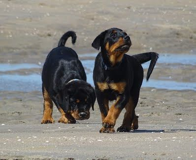Rottweiler Kennel Angfiero