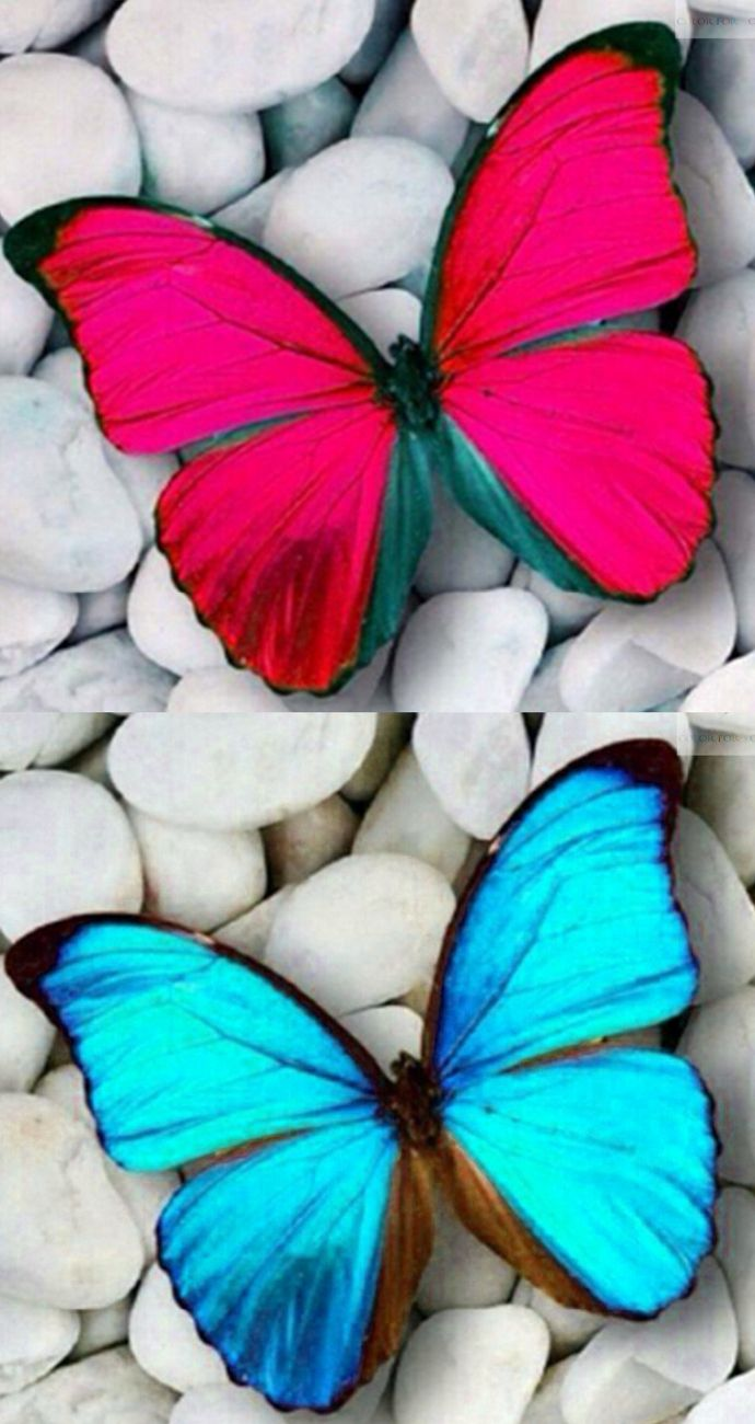 Fake - Pink butterfly - The original image of a Blue Morpho (Morpho didius) on the bottom.