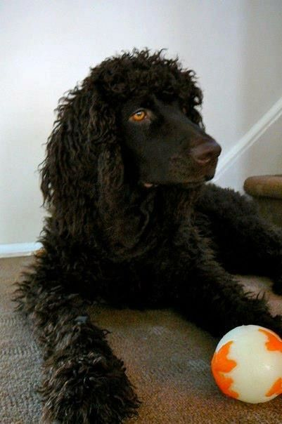 Shea the Irish water spaniel