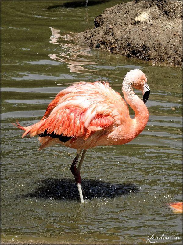 Photo Flamant du Chili (Zoo de la Palmyre)