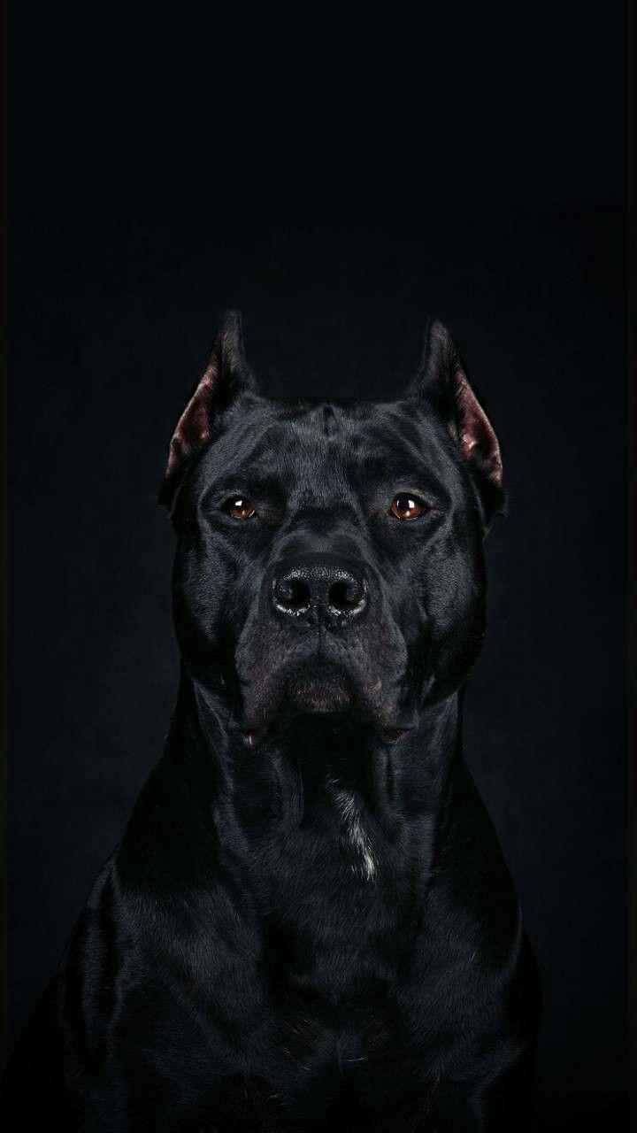 Blackcatgrooming Scary Dogs Dog Wallpaper Pitbulls