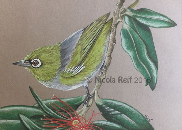 Waxeye and Pohutikawa. (photo reference artists own). Pastel Pencil on Canson Mi Teints Paper. Available as an original, prints or greeting cards.