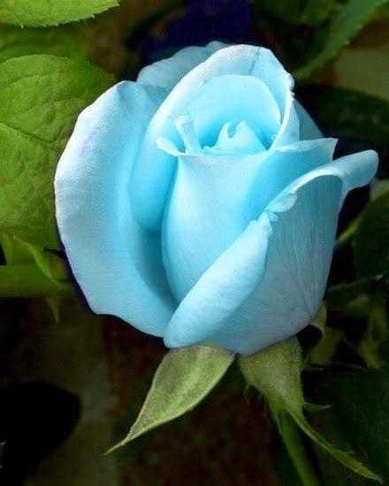 174 besten blaue rosen bilder auf pinterest sch ne. Black Bedroom Furniture Sets. Home Design Ideas
