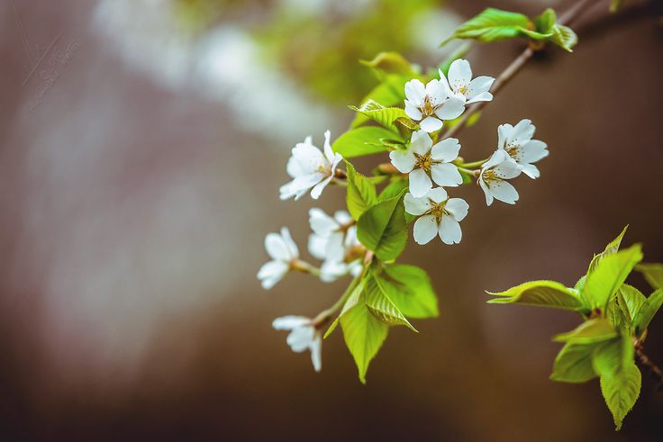 https://flic.kr/p/sh5EDF   Cherries Flowers   Photo: Alexandru Matei Photography  Setup: NIKON D610 + 70.0-200.0 mm f/2.8 Manual,@ 200.00 mm, 1/200 s, @ f/2.8, ISO 640 Location: Back yard  Share if u like! Thx!