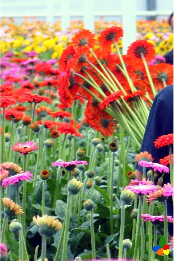 The 10 best Where flowers grow.... images on Pinterest | Flower farm ...