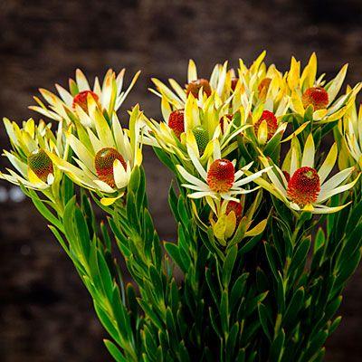 <i>Leucadendron</i> 'Red Eye' - 13 Stunning Proteas - Sunset