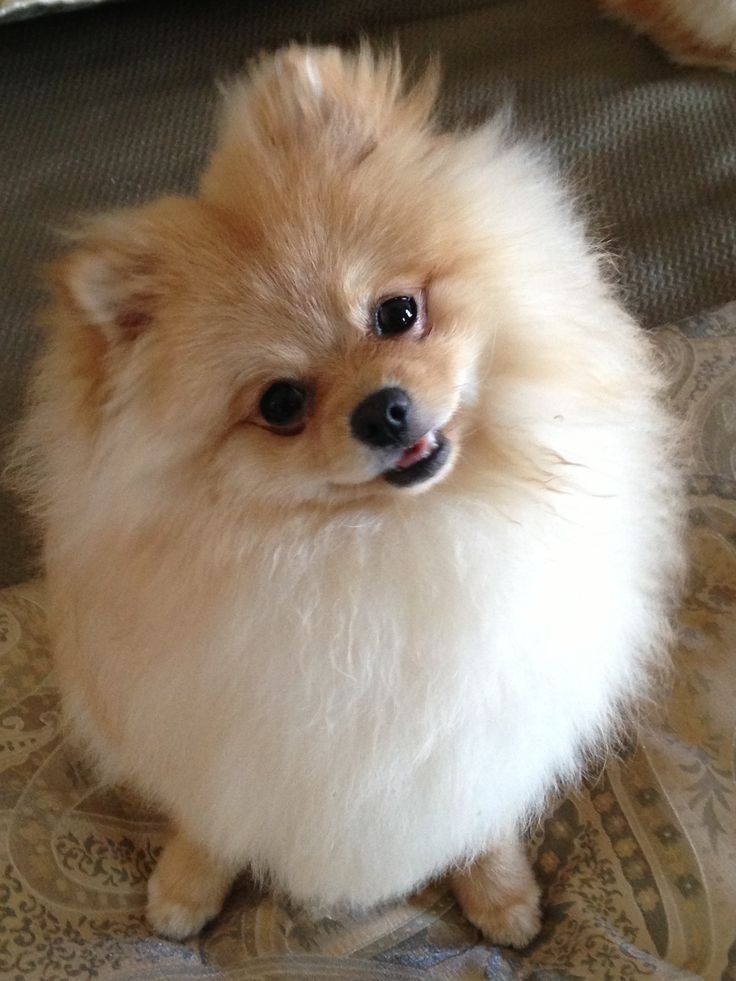 pomeranian chow 363 best images about cute animals on pinterest chow chow puppys and 3571