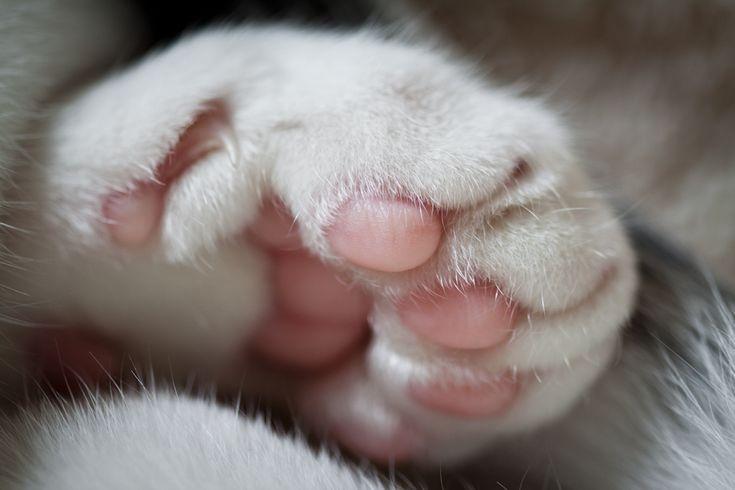 Patita de gato blanco