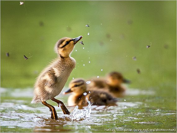 Cute Ducks In Water Wallpaper 2014 National Wildlife Photo Contest Winners National