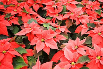 According to the National Capitol Poison Center, the toxicity of poinsettias is a false belief made stronger each year at Christmastime.