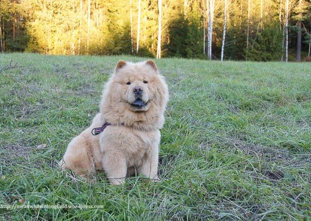Creme chow chow lady