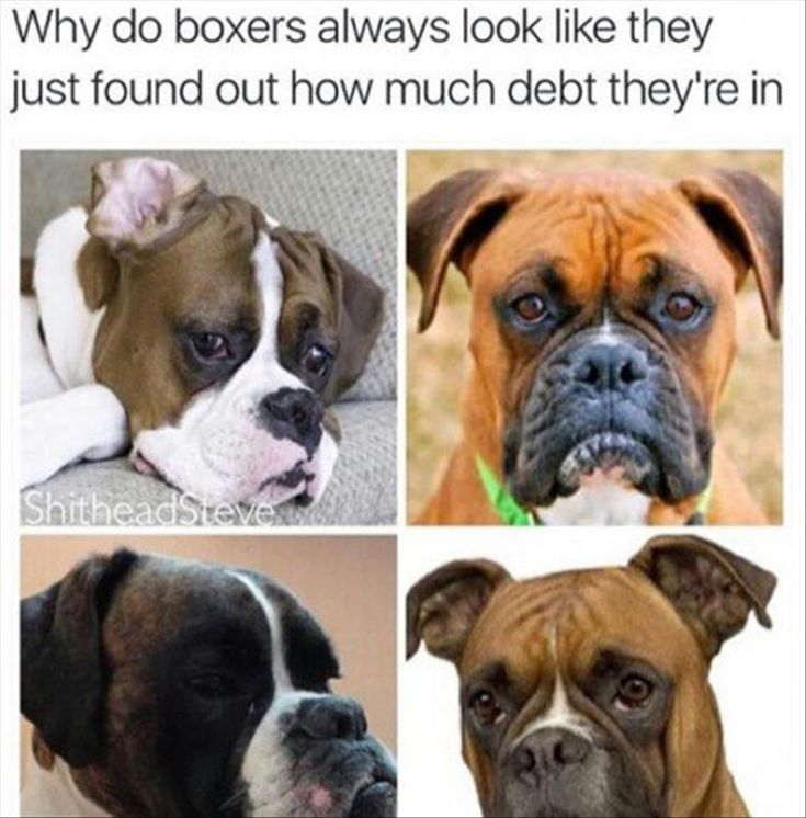 Best Pictures Of Boxers Ideas On Pinterest Funny Boxer Dogs - 21 hilarious dog moments