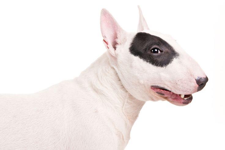 Miniature Bull Terrier dog—Credit: Amy J Hogge