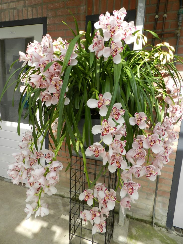 "cymbidium ""Joker"" Care tips: http://www.houseplant411.com/houseplant/cymbidium-orchids-how-to-grow-care"