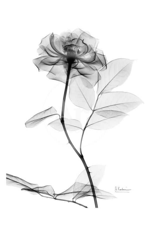 10 Floral Tattoo Artists You Could Trust Your Skin To: Rose In Full Bloom In Black And White Art Print By Albert