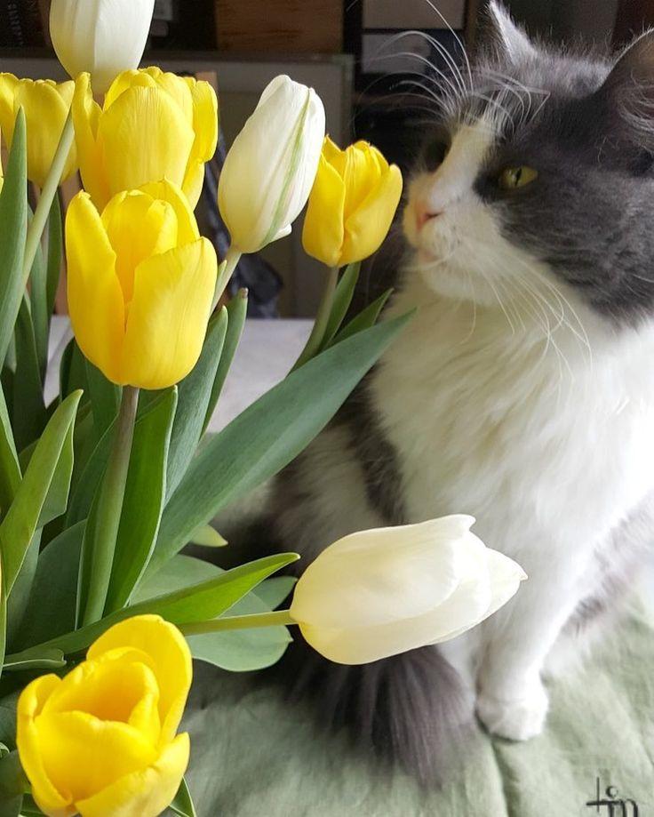 Pääsiäisen tunnelmat myös blogissa ja Micu-kissa tietenkin mukana menossa #uusiblogipostaus #newblogpost #ontheblog #linkkibiossa #linkinbio #pääsiäinen #easter #kissa #cat #catoftheday #catsofinstagram #catstagram #micuthecat #tulppaanit #tulips #flowerpower #igflower #cutenessoverload #lifestyleblogger #nelkytplusblogit #åblogit