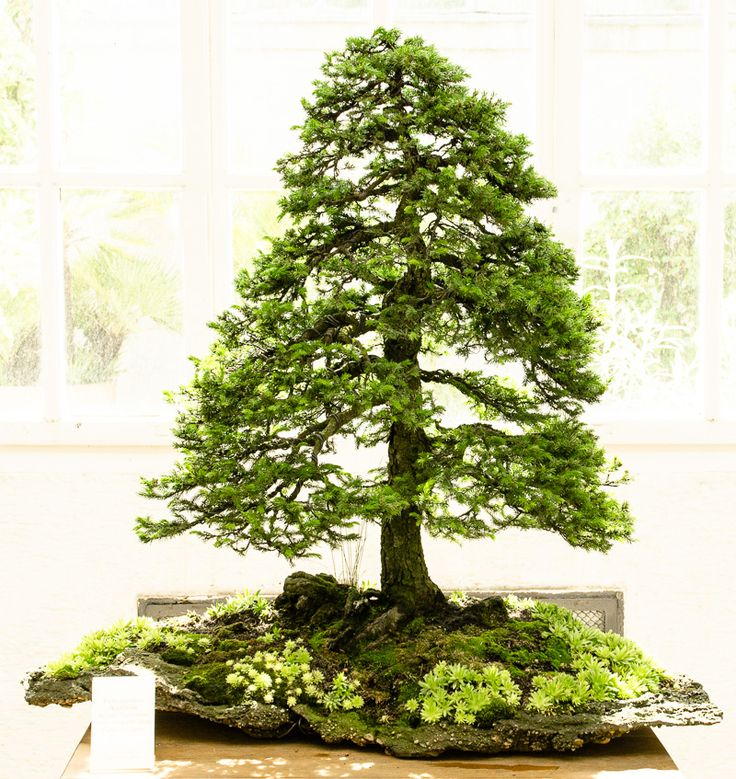 ajan fichte peicea jezoensis als bonsai bonsai pinterest bonsai baum garten m nchen und. Black Bedroom Furniture Sets. Home Design Ideas