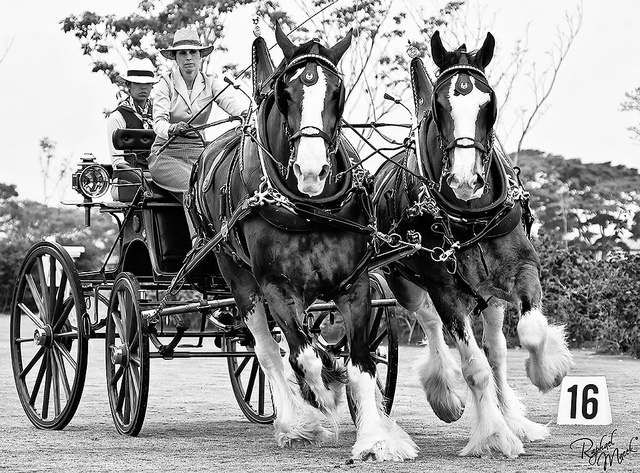 Clydesdale Beautys....