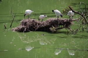 Ibis nesting in the Hunter Wetlands Centre reserve