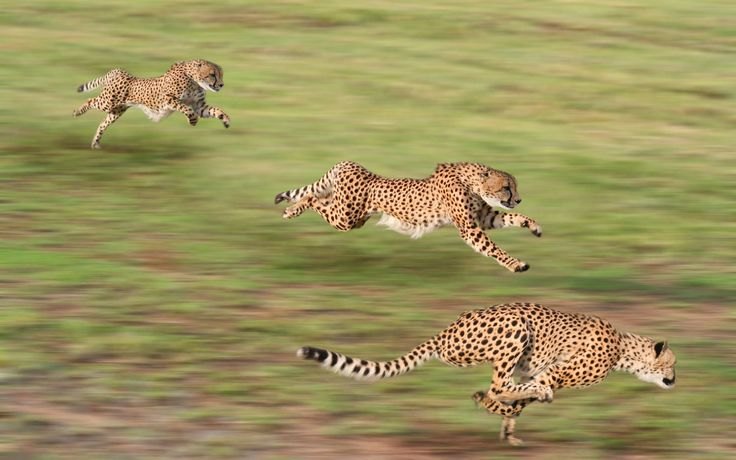 Full HD p Cheetah Wallpapers HD Desktop Backgrounds x