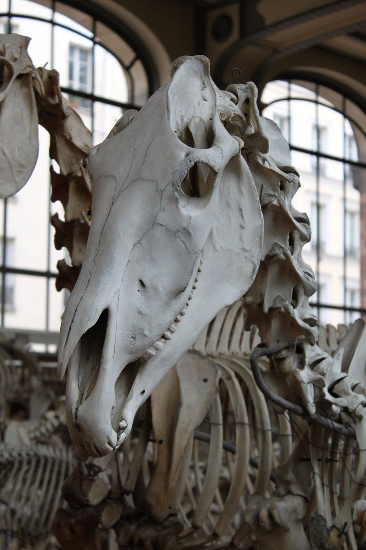 Horse skull by *CitronVertStock on deviantART