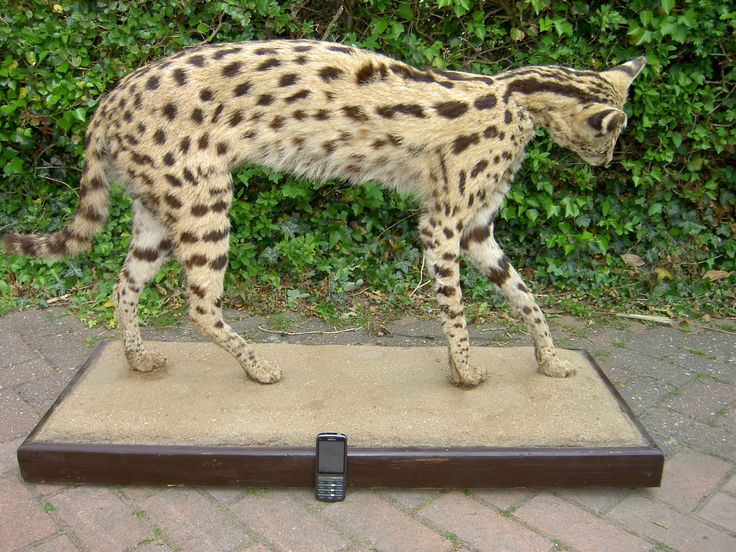 Serval Cat taxidermy mount
