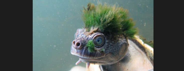 Mary River Turtle – Lil