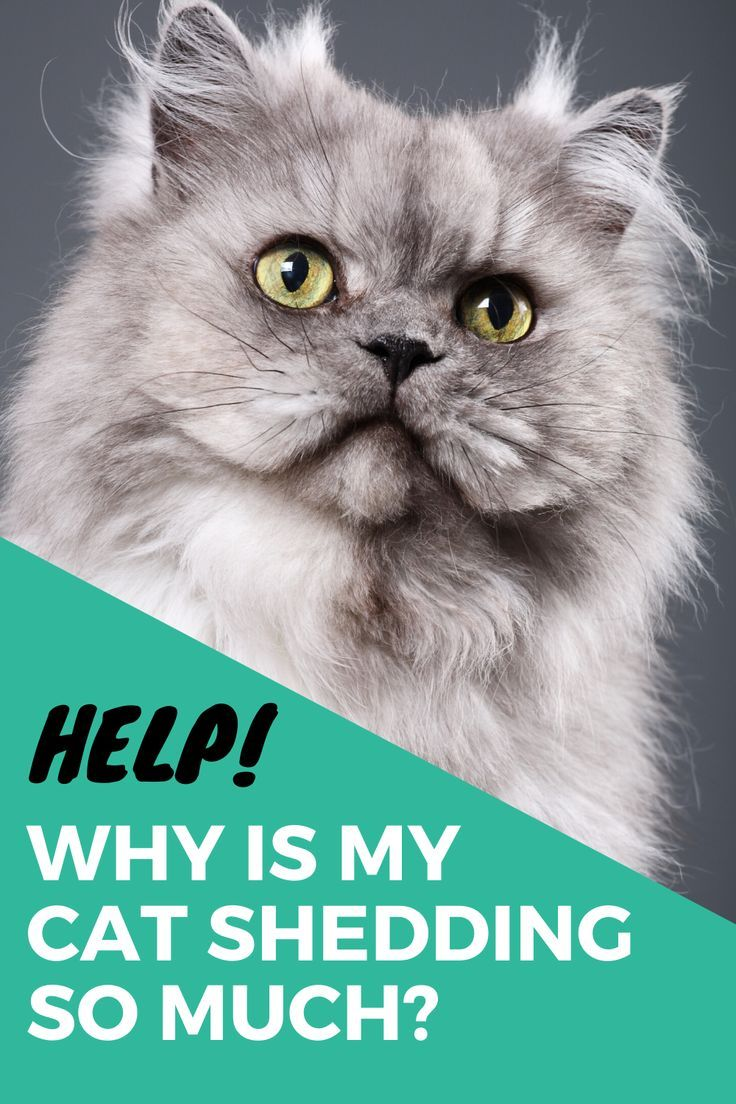 Why Is My Cat Losing Hair I Common Causes And Remedies In 2020 Cat Shedding Kitten Care Cat Care