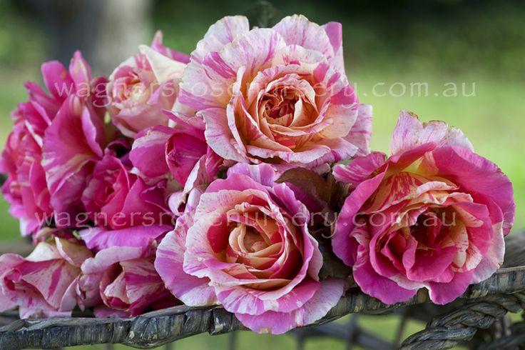 Claude Monet.  Delbard French roses.
