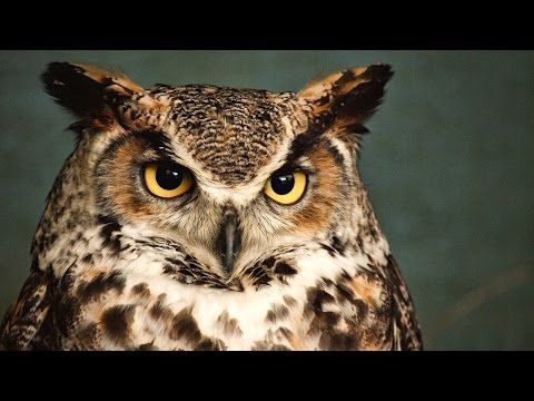 Owls are birds from the order Strigiformes, which includes about 200 species of mostly solitary and nocturnal birds of prey typified by an upright stance, a ...