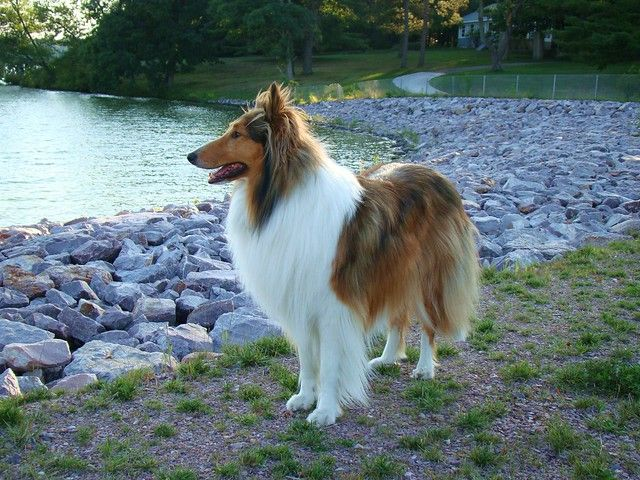 Our Collie Buddy Wisconsin Dells Wi Wisconsin Dells Collie