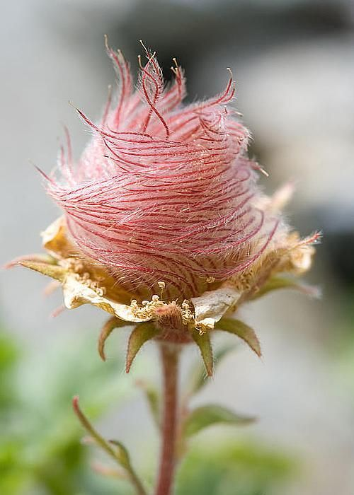 Wood avens, also known as herb Bennet, colewort, and St. Benedict's herb, is a member of the rose family.