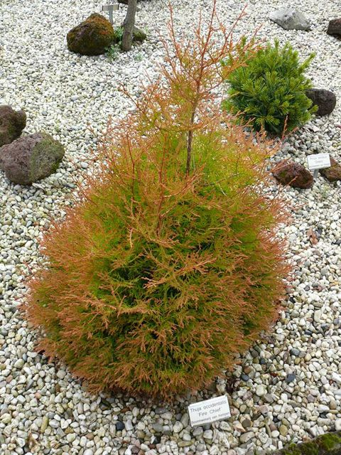 Sortiment Edwin Smits Conifers Thuja occidentalis 'Fire Chief'