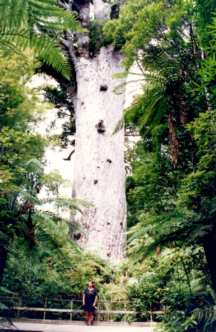 'Tane Mahuta', Kauri Tree. Northland, New Zealand  At Luxury Villa Rentals Koh Samui our aim is to provide our guests with deluxe hotel services within the privacy and space of your own luxury villa at Choeng Mon Beach, Koh Samui. Find out more information by visiting our site at http://luxuryvillarentalskohsamui.com/