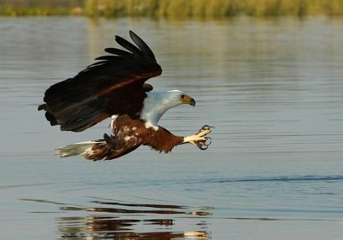 Fish eagle swooping to catch its prey, Kariba, Zimbabwe