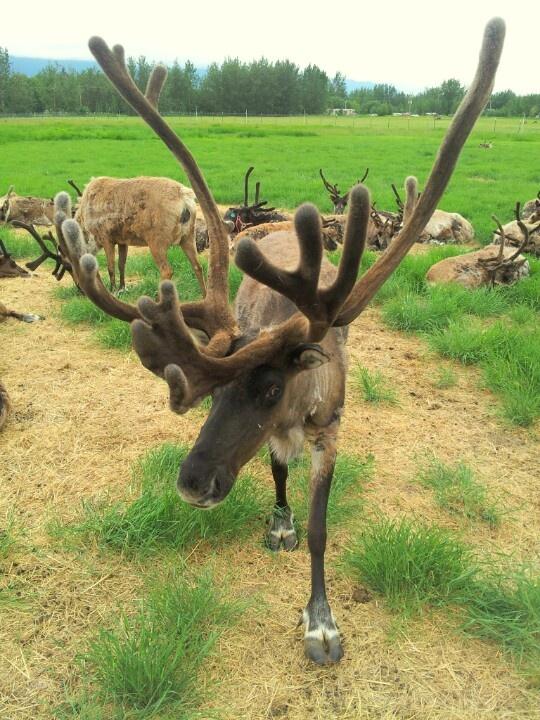 Reindeer - Palmer, Alaska Photo by Rachelena Whitson