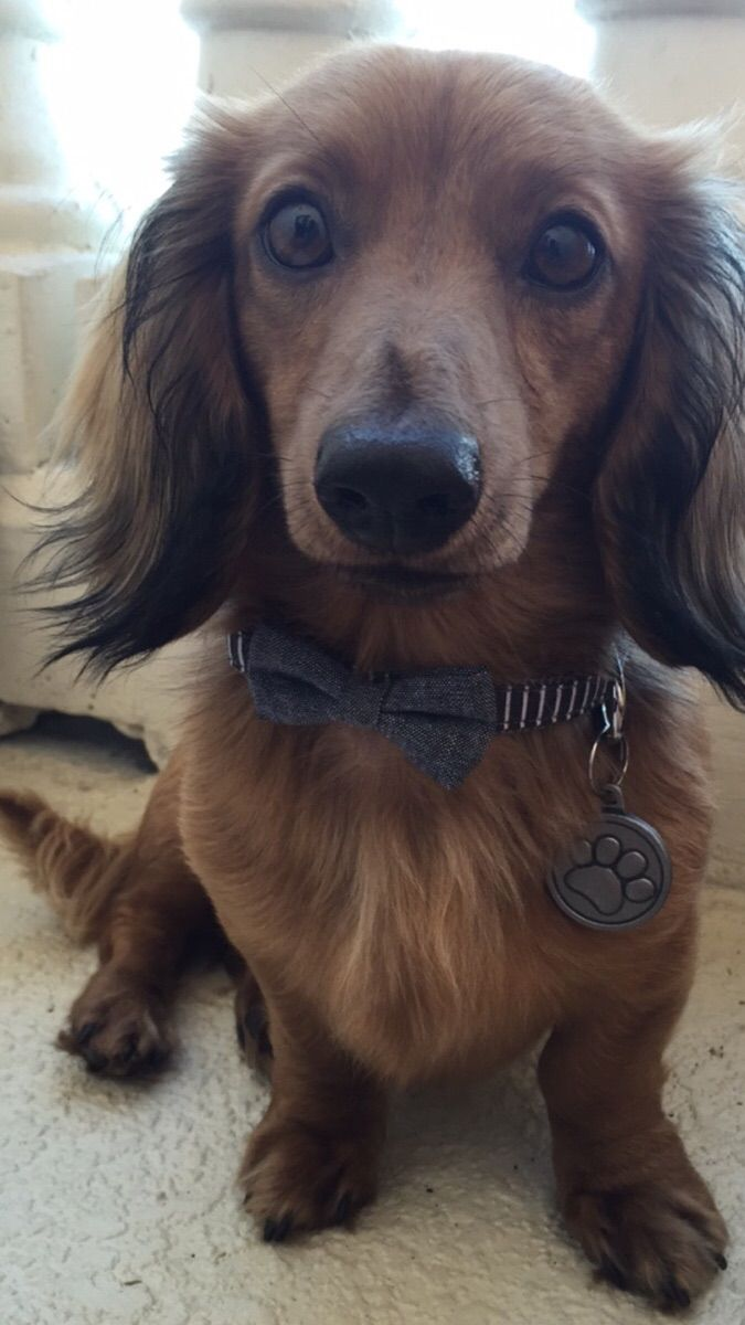 Mason, the dapper dachshund http://easywaytopottytrainyourdog.blogspot.com/2016/05/when-to-start-housebreaking-puppy.html