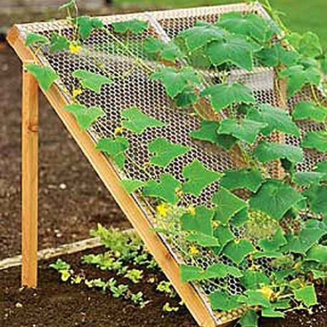 How to grow Lettuce & Cucumbers