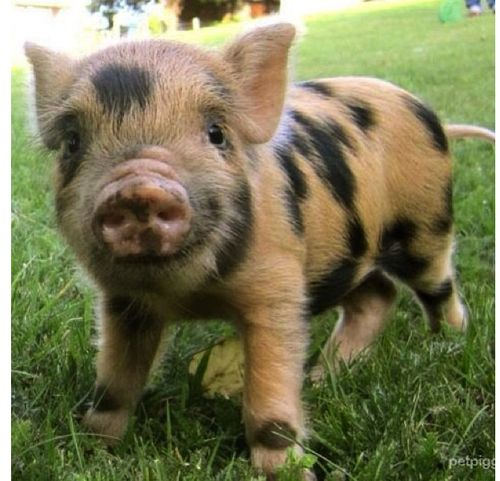 Mini Pot Belly Rescue Piggy! ♥