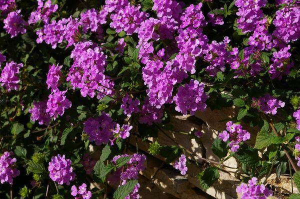 17 meilleures id es propos de plantes m diterran ennes sur pinterest maisons - Vente plante en ligne ...