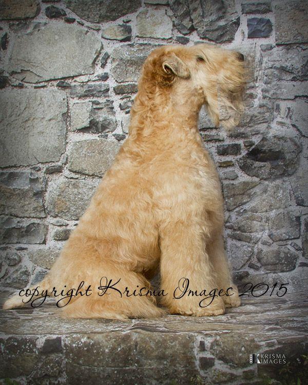 Soft Coated Wheaten Terrier in 2020 Soft coated wheaten