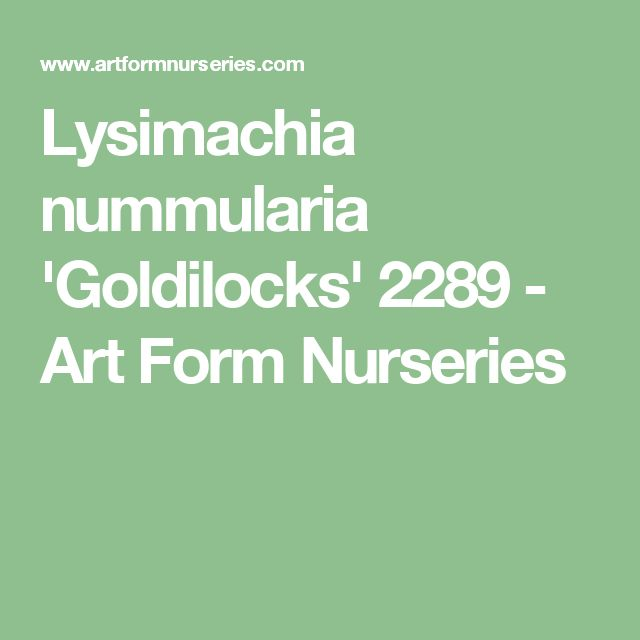 Lysimachia nummularia 'Goldilocks' 2289 - Art Form Nurseries