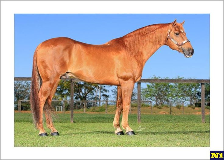 Quarter Horse - stallion May Leo MA36 | Quarter Horse ...