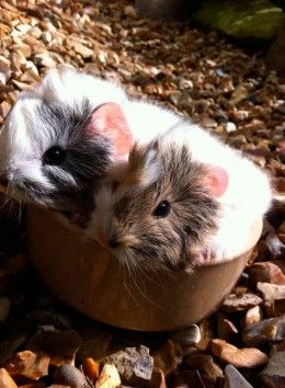 Peruvian guinea pig care guide with information on hair care, hair loss, hygiene, diet and comfort. Peruvian guinea pigs need extra attention to make sure they stay free from disease and discomfort.