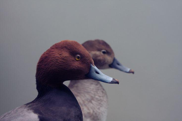 paul octavious: Photos, Animals, Nature, Animal Kingdom, Colors, Art, Ducks, Birds, Photography
