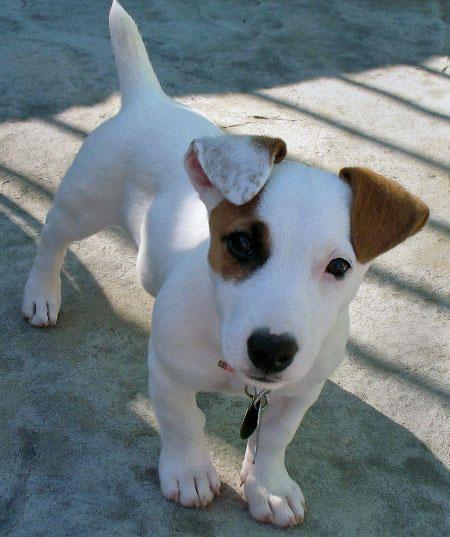 via KaufmannsPuppy Adorable Jack russell dogs, Jack