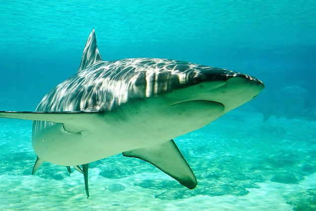 Dusky Shark Populations Plummet Despite Protections.  The sharks are disappearing all over the world.