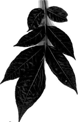 Silhouettes Hickory Leaf - Steve Nix